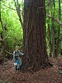Starr-090521-9242-Sequoia sempervirens-large tree with Forest-Polipoli-Maui (24326069554).jpg