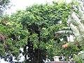 Starr-090623-1735-Adenanthera pavonina-flowering habit-Hana-Maui (24940945736).jpg