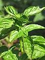 Starr-090707-2398-Ocimum basilicum-leaves-Olinda-Maui (24969058135).jpg