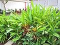 Starr-090730-3390-Heliconia psittacorum-flowering habit-Honolulu Airport-Oahu (24343818653).jpg