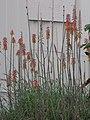 Starr-091222-0830-Aloe massawana-flowering habit with Japanese white eye-Honokanaia-Kahoolawe (24697172280).jpg