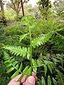 Starr-110307-2911-Diplazium esculentum-frond-Kula Botanical Garden-Maui (25052655876).jpg