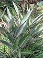 Starr-110330-3711-Strelitzia reginae-habit-Garden of Eden Keanae-Maui (24713001989).jpg