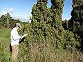 Starr-110331-4352-Juniperus chinensis-Kaizuka habit with Kim-Shibuya Farm Kula-Maui (24450947654).jpg