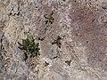 Starr-111005-0679-Rubus niveus-young plants in lava-Polipoli-Maui (25092247466).jpg