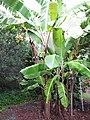 Starr-121108-0838-Musa x paradisiaca-Iholena Maia Lele variety habit-Pali o Waipio-Maui (25103204311).jpg