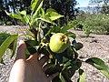 Starr-130201-1602-Pyrus communis-var Hood immature fruit-Hawea Pl Olinda-Maui (25205170915).jpg