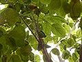 Starr-140711-1037-Cordia subcordata-tree with love birds-Kanani Rd Kihei-Maui (24948854530).jpg