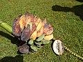 Starr-140925-1945-Musa balbisiana-fruit showing seeds-Pali o Waipio Huelo-Maui (24950897110).jpg