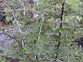 Starr 001117-0053 Rubus niveus f. a.jpg