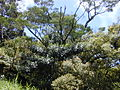 Starr 010715-0036 Acacia koa.jpg