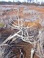 Starr 030828-0100 Hibiscus brackenridgei subsp. brackenridgei.jpg