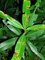 Starr 050818-4155 Syzygium jambos.jpg