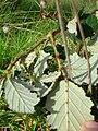 Starr 051123-5451 Rubus discolor.jpg