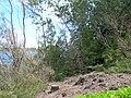 Starr 060422-7851 Casuarina equisetifolia.jpg