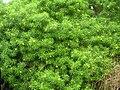 Starr 060916-8881 Thevetia peruviana.jpg