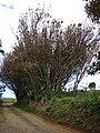 Starr 080326-3751 Syzygium jambos.jpg