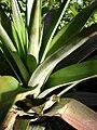 Starr 081031-0397 Ananas comosus.jpg