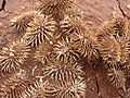 Starr 081230-0563 Xanthium strumarium var. canadense.jpg