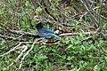 Stellers Jay (Cyanocitta Stelleri) (9357673601).jpg