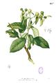 Stephegyne diversifolia Blanco1.131b.png