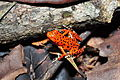 Strawberry poison-dart frog (Oophaga pumilio or Dendrobates pumilio) (9429698613).jpg