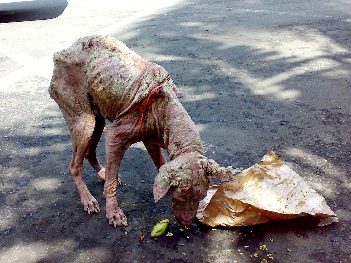Kann die Räude durch Jagd eingeämmt werden? An Räude erkrankter Straßenhund auf Bali