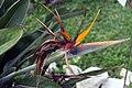 Strelitzia reginae 25zz.jpg