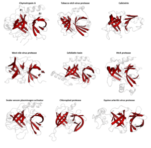 Protein superfamily - Structural homology in the PA superfamily (PA clan). The double β-barrel that characterises the superfamily is highlighted in red. Shown are representative structures from several families within the PA superfamily. Note that some proteins show partially modified structural. Chymotrypsin (1gg6), tobacco etch virus protease (1lvm), calicivirin (1wqs), west nile virus protease (1fp7), exfoliatin toxin (1exf), HtrA protease (1l1j), snake venom plasminogen activator (1bqy), chloroplast protease (4fln) and equine arteritis virus protease (1mbm).