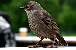 Common starling - A young juvenile perching on a table in London. Its plumage is mainly grey-brown