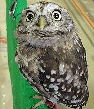 Sunda Scops-owl.jpg