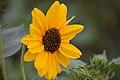 Sunflower (Helianthus) Feb 2019. DSC 0036 01.jpg