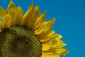 English: Close-up of a sunflower with a ladybu...