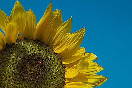 Close-up of a sunflower with ladybug (Coccinella septempunctata) on it.