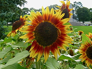 Helianthus annuus (Sunflower). Taken at garden...