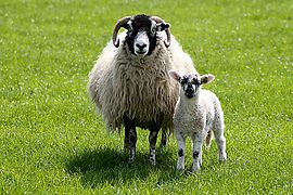 A Swaledale ewe and lamb