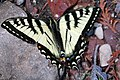Swallowtail at Middlebrun (671485430).jpg