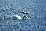 Swan & Gul - Lackford Lakes (26460567300).jpg