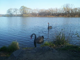 Molonglo River - Black swans on Molonglo River