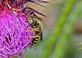 Sweat Bee (Halictus scabiosae) (10113427034).jpg