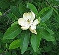 Sweetbay Magnolia Magnolia virginiana Flower Closeup 2242px.jpg