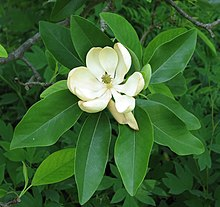 Magnolia virginiana, sweet bay