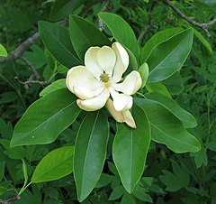 Magnolia virginiana Sweet Bay