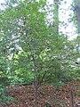 Syringa reticulata mandshurica 0zz.jpg