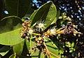 Syzygium caryophyllatum 13.JPG