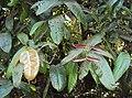 Syzygium mundagam 07.JPG