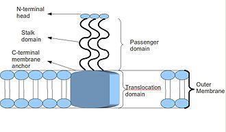 Trimeric autotransporter adhesin - Image: Taabasic 1