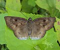 Tagiades gana - Immaculate - Large - Suffused Snow Flat.JPG