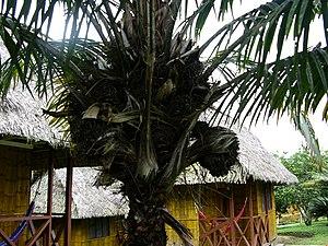Tagua palm tree