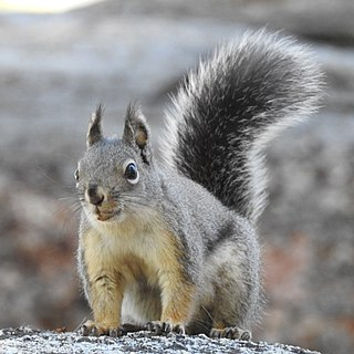 Mearnss squirrel species of mammal